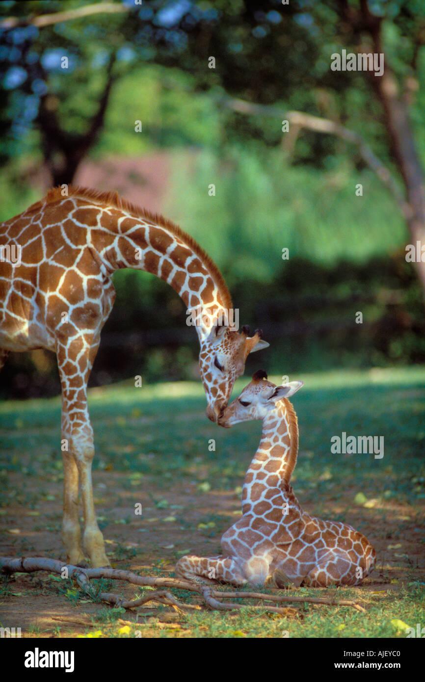 Reticulated Giraffe Mother Nuzzling Baby Giraffe G C Reticulata