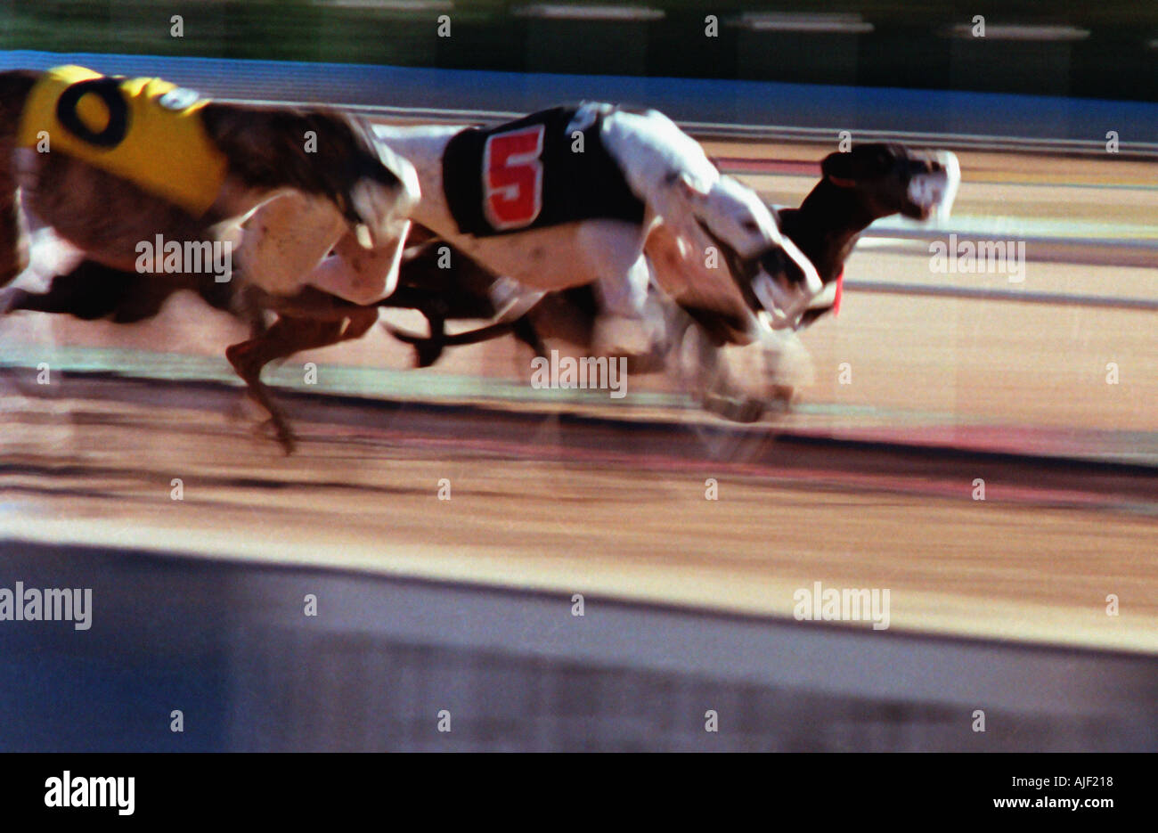 Dogs heading into the final stretch - Stock Image
