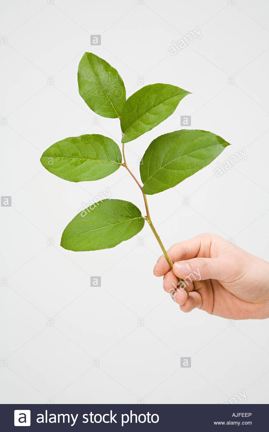 Hand holding a branch - Stock Image