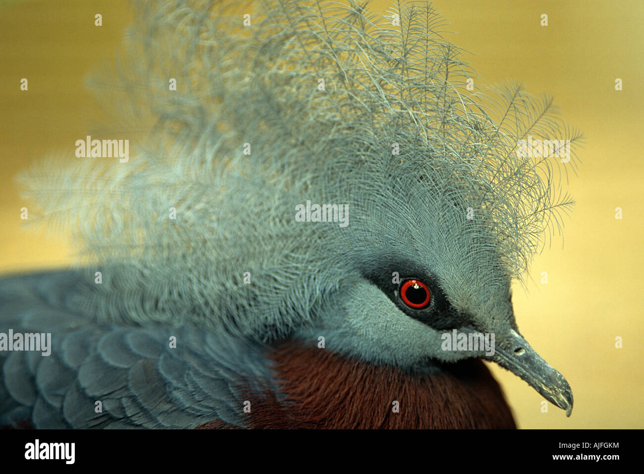 Victoria crowned pigeon - Stock Image