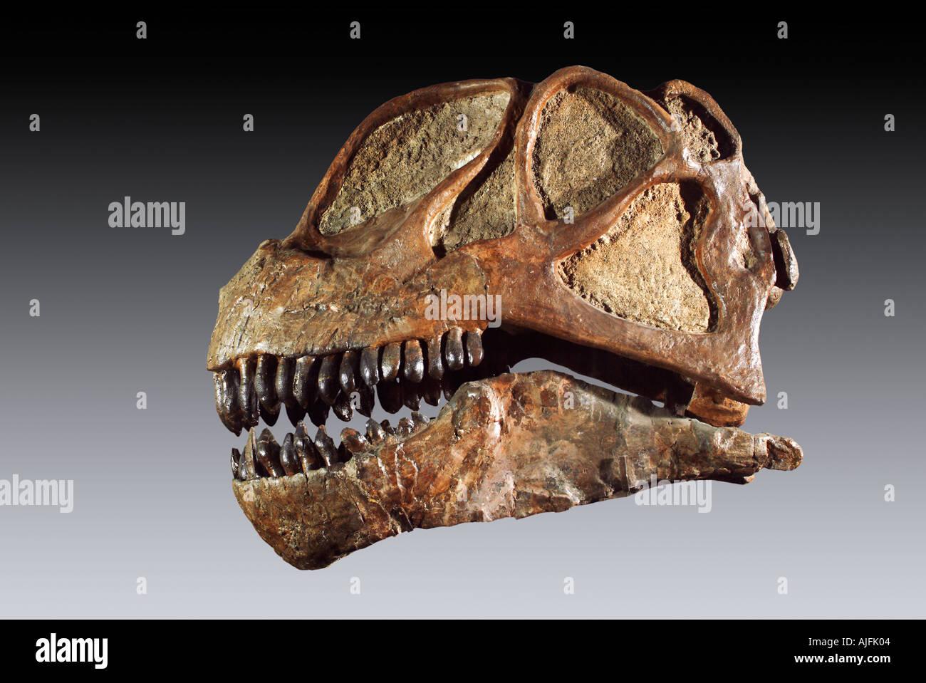 Fossil Sauropod Camarasaurus Skull Late Jurassic Dinosaur National Monument Utah - Stock Image