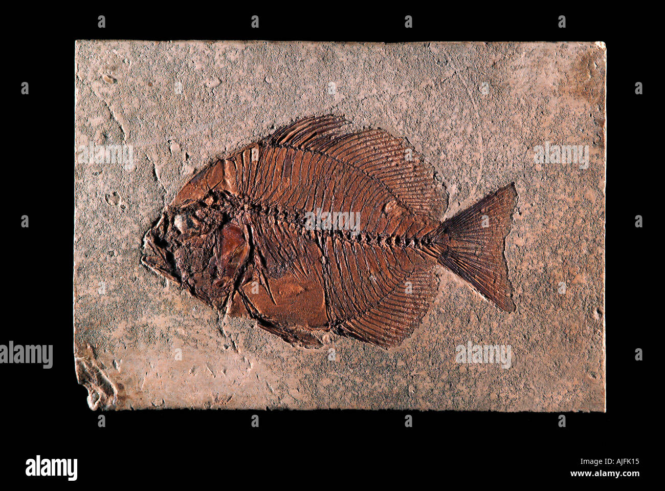 Archaephippus asper Fossil Fish Middle Eocene Lithographic Limestone Monte Bolca Italy - Stock Image