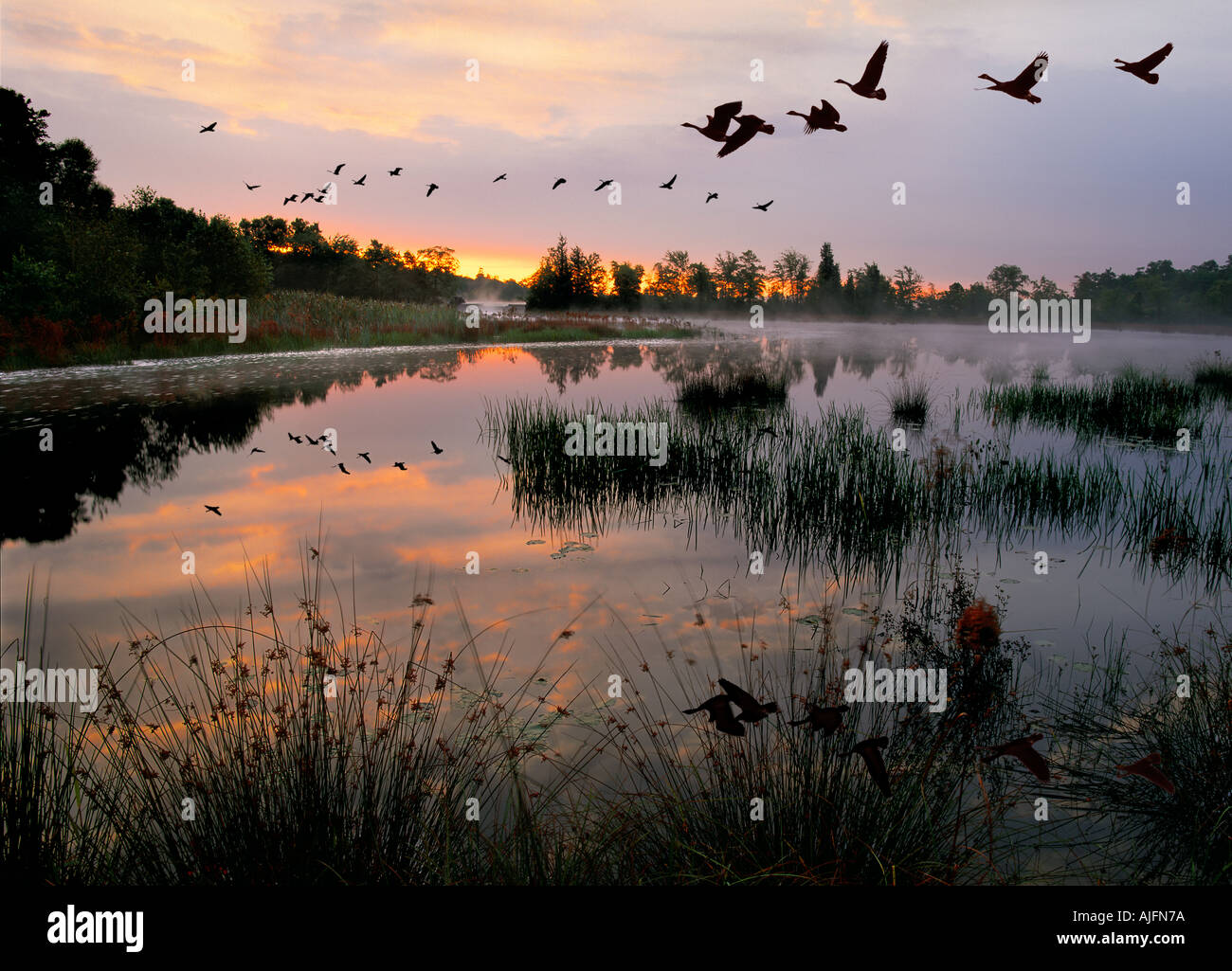 Canada Geese Migration Southern New Jersey - Stock Image