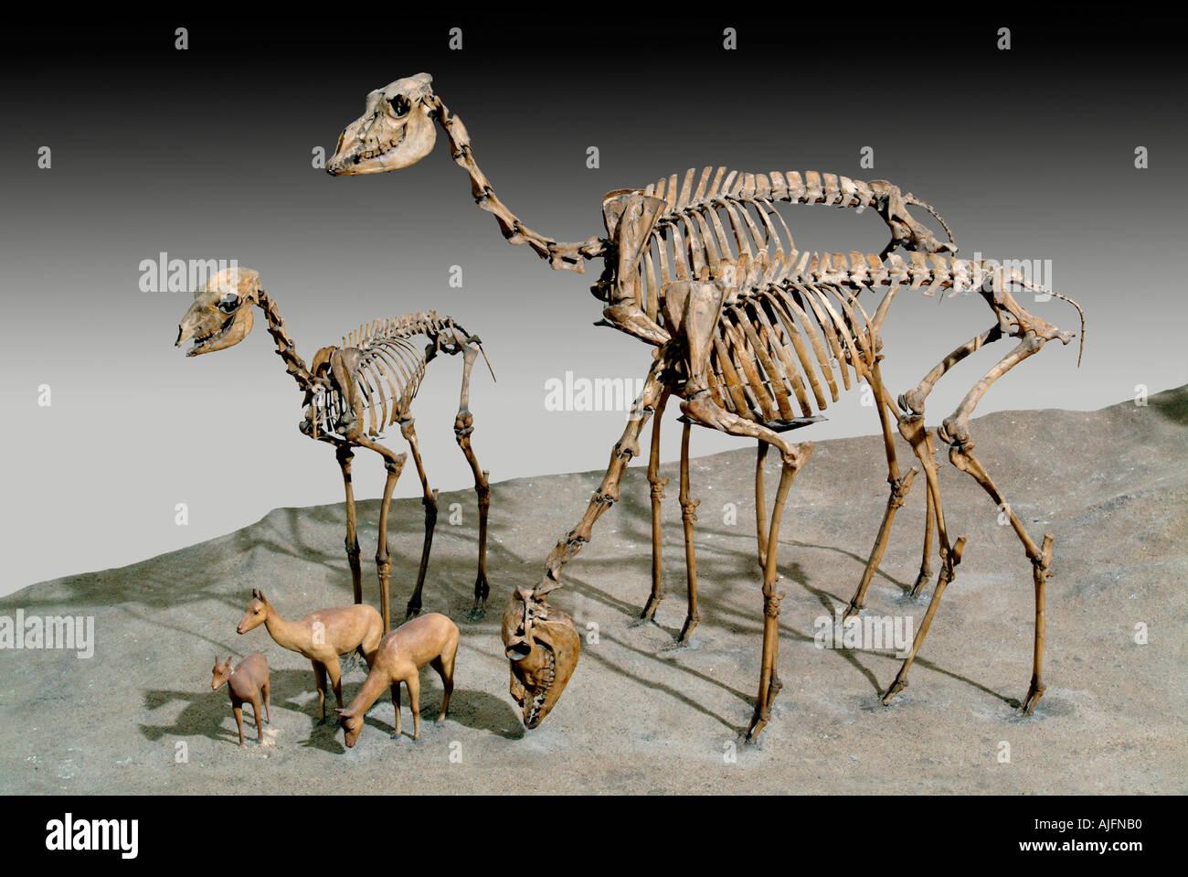 Stenomylus hitchcocki Early Miocene Nebraska - Stock Image