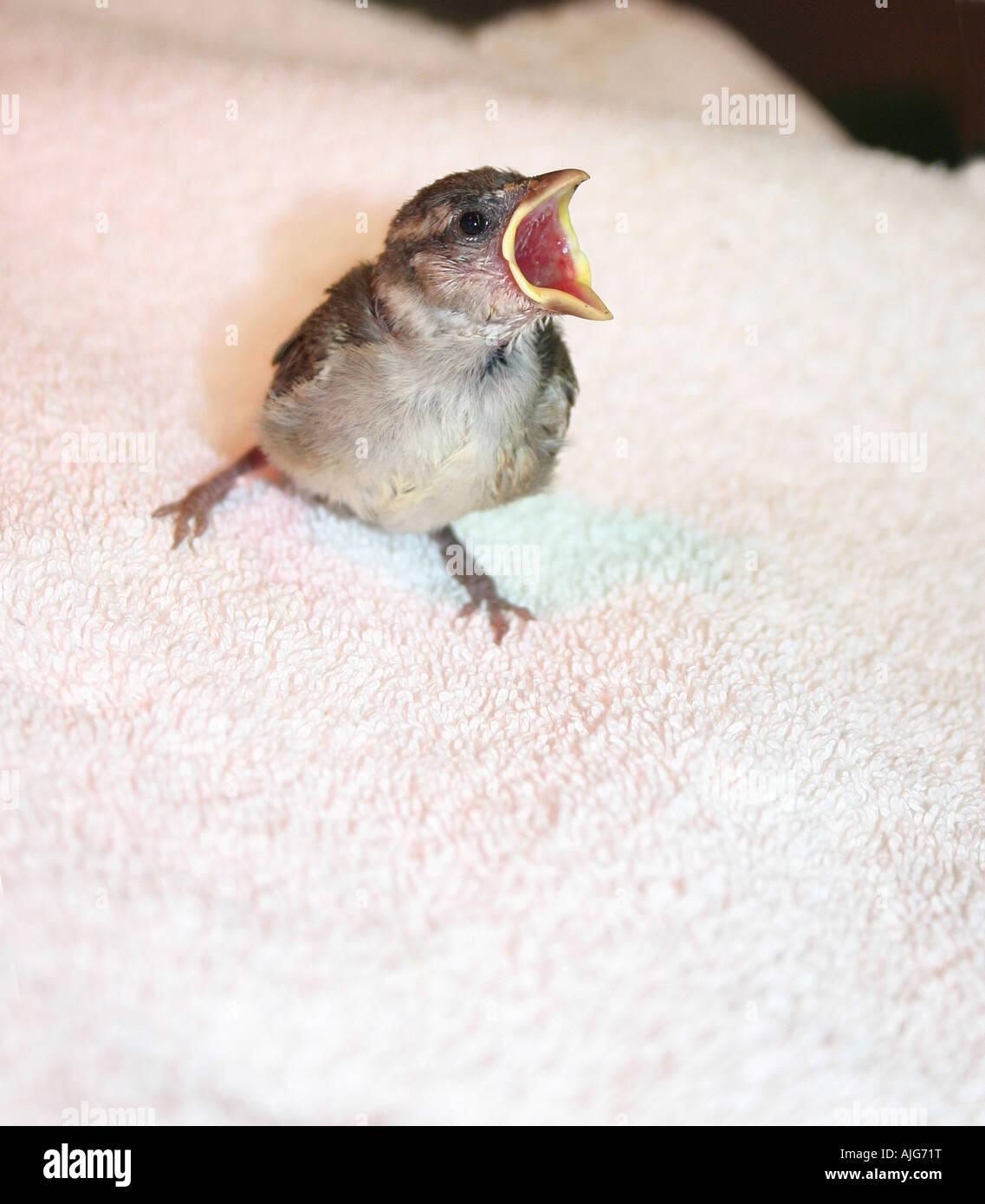 orphaned chick awaiting feeding time at the Calgary Wildlife Rehabilitation Society in Calgary Alberta Canada - Stock Image