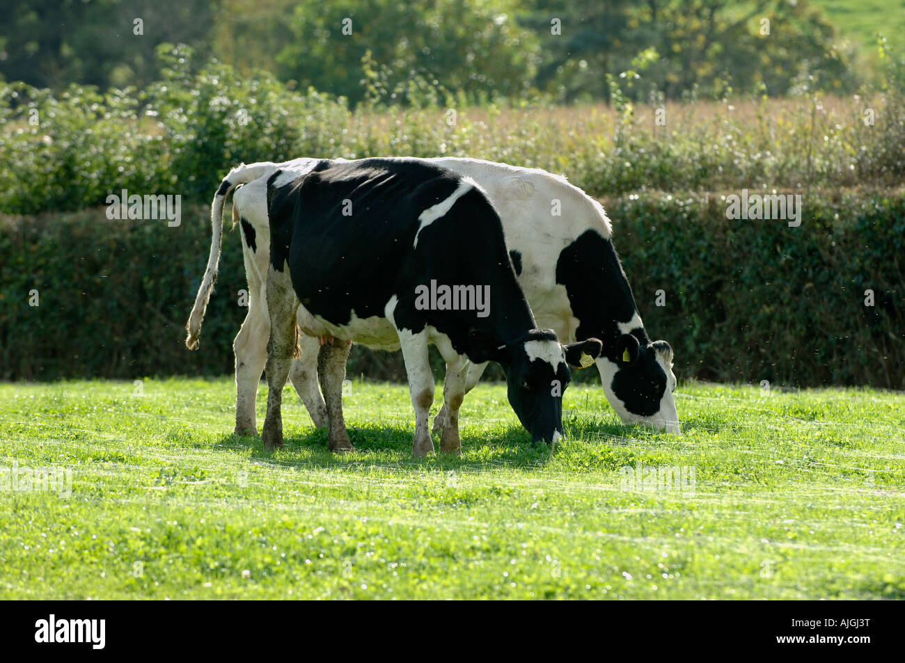 Holstein Friesian cow grazing on short grass with threads of gossamer from money spiders - Stock Image