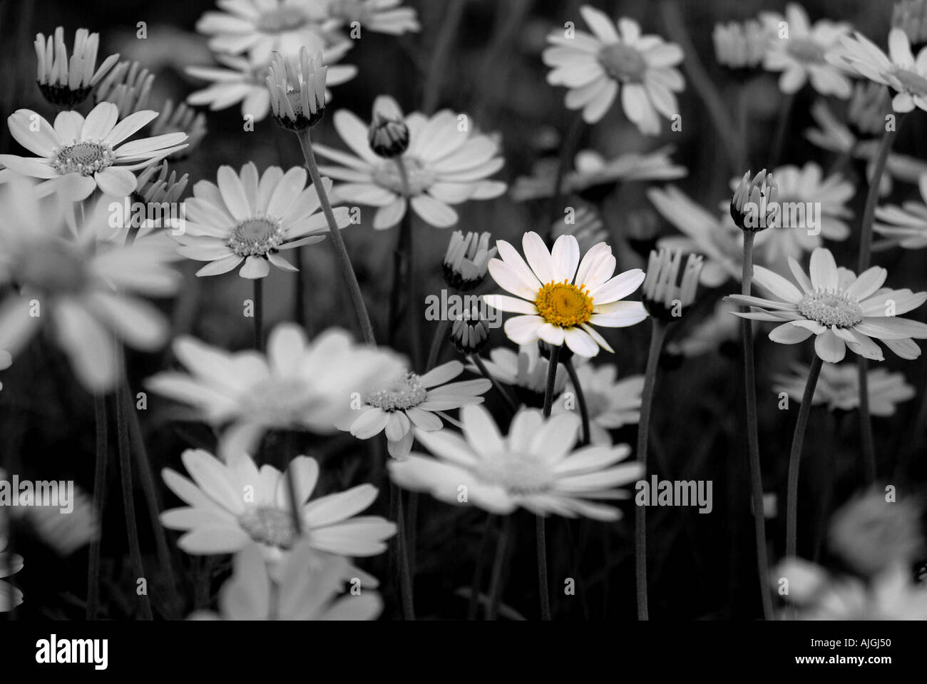 Single Dandelion Flower In Colour Standing Out Against Other Flowers