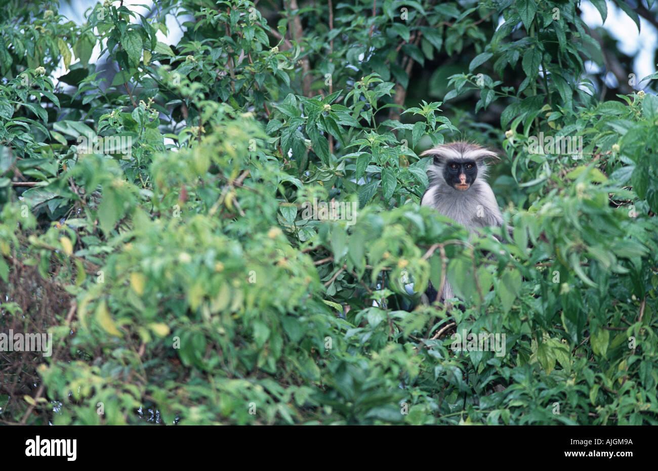 Red Colobus Monkey Jozani Forest National Reserve Zanzibar Tanzania - Stock Image