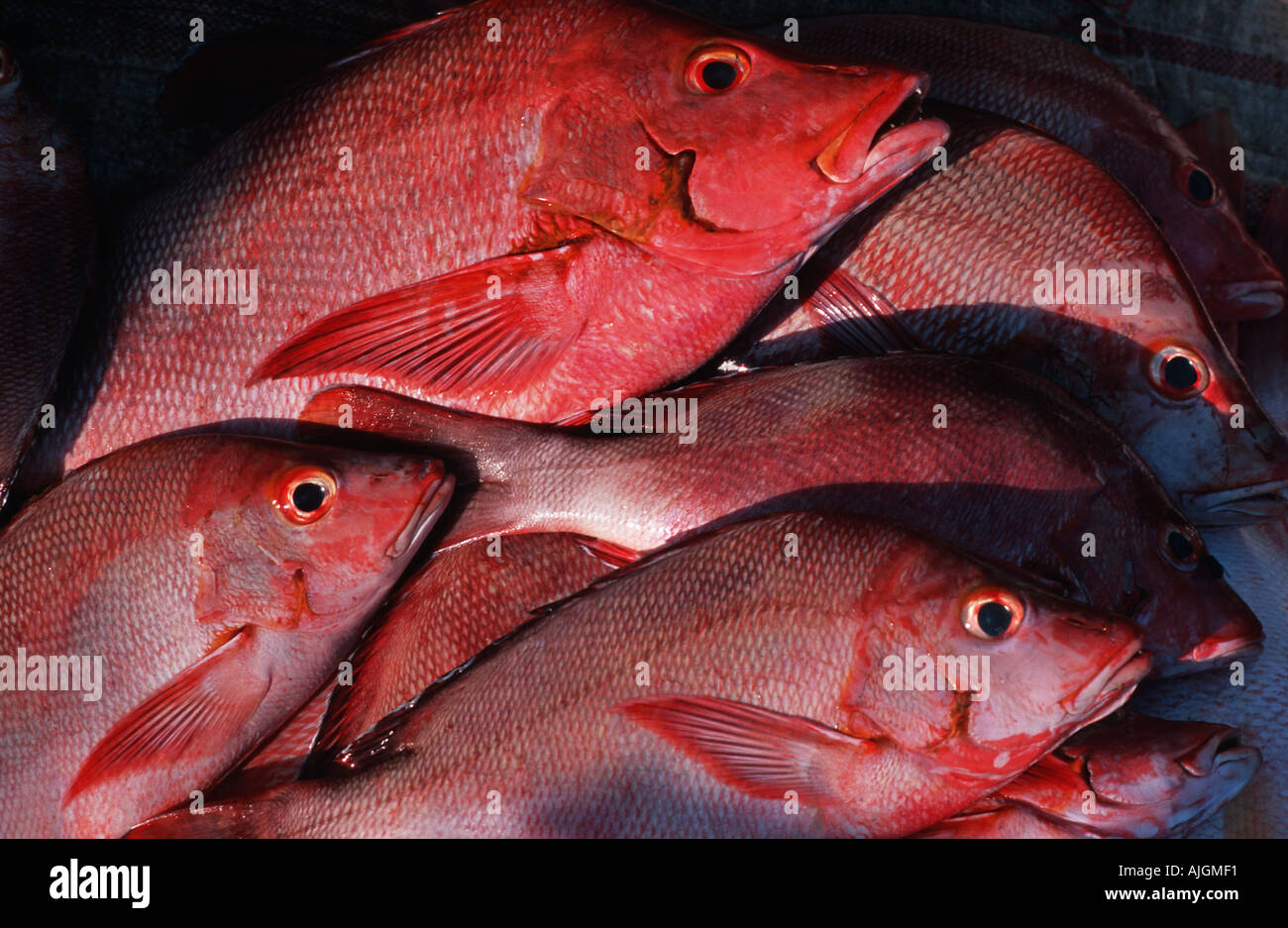 Colourful red fish in a fishermans basket at market Dar es Salaam fish market Tanzania East Africa - Stock Image