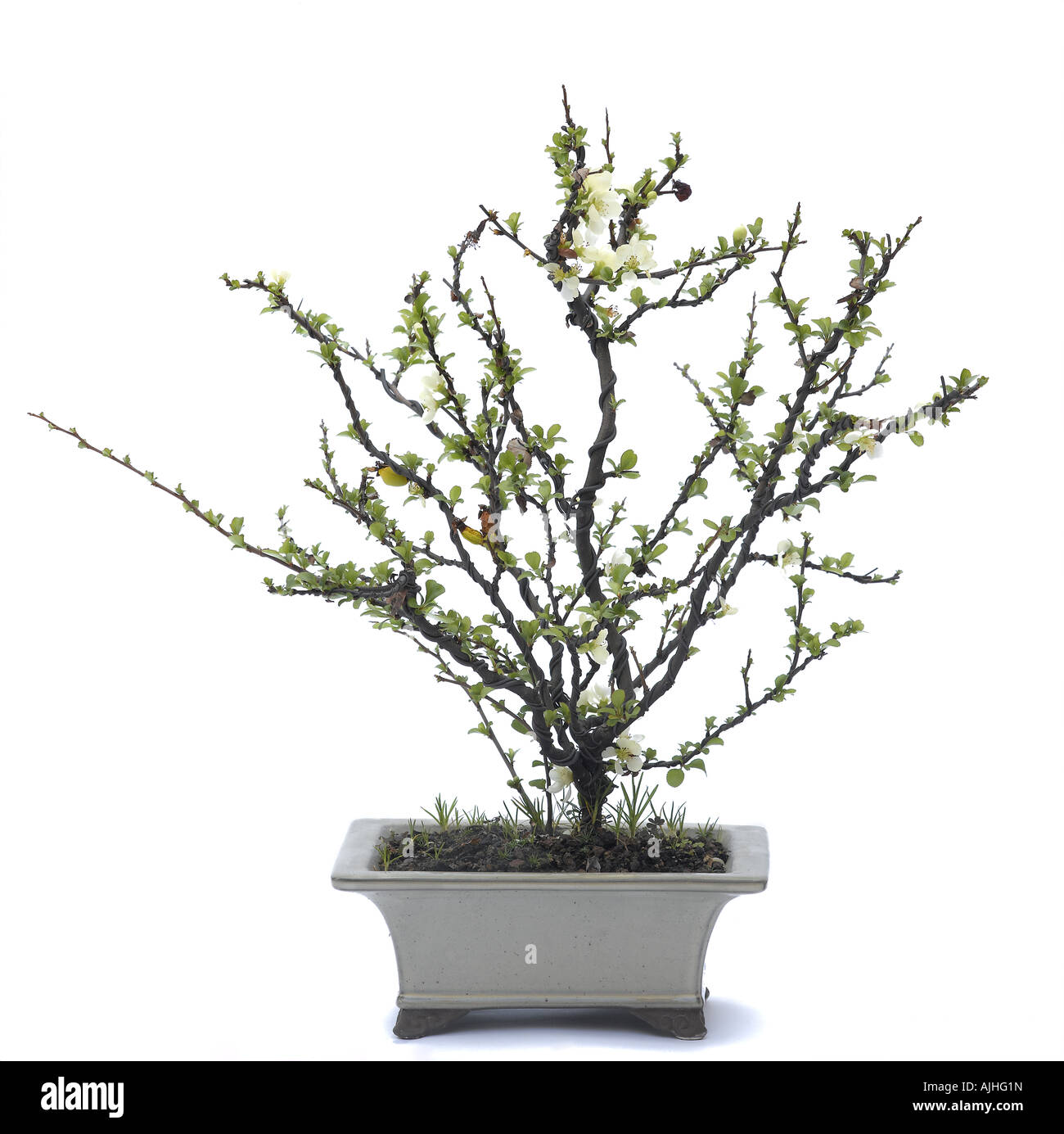 Japanese Flowering Quince Bonsai Chaenomeles Japonica Or Chaenomeles Stock Photo Alamy