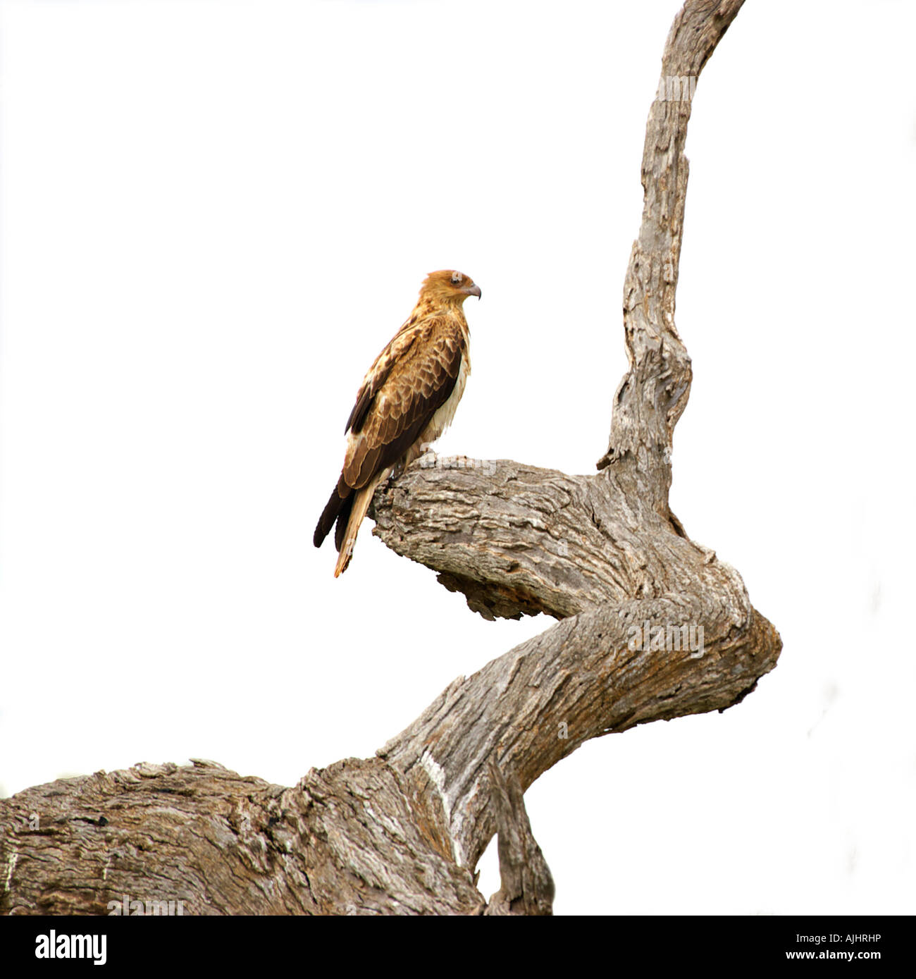 whistling kite sits in a tree isolated on white background Stock Photo