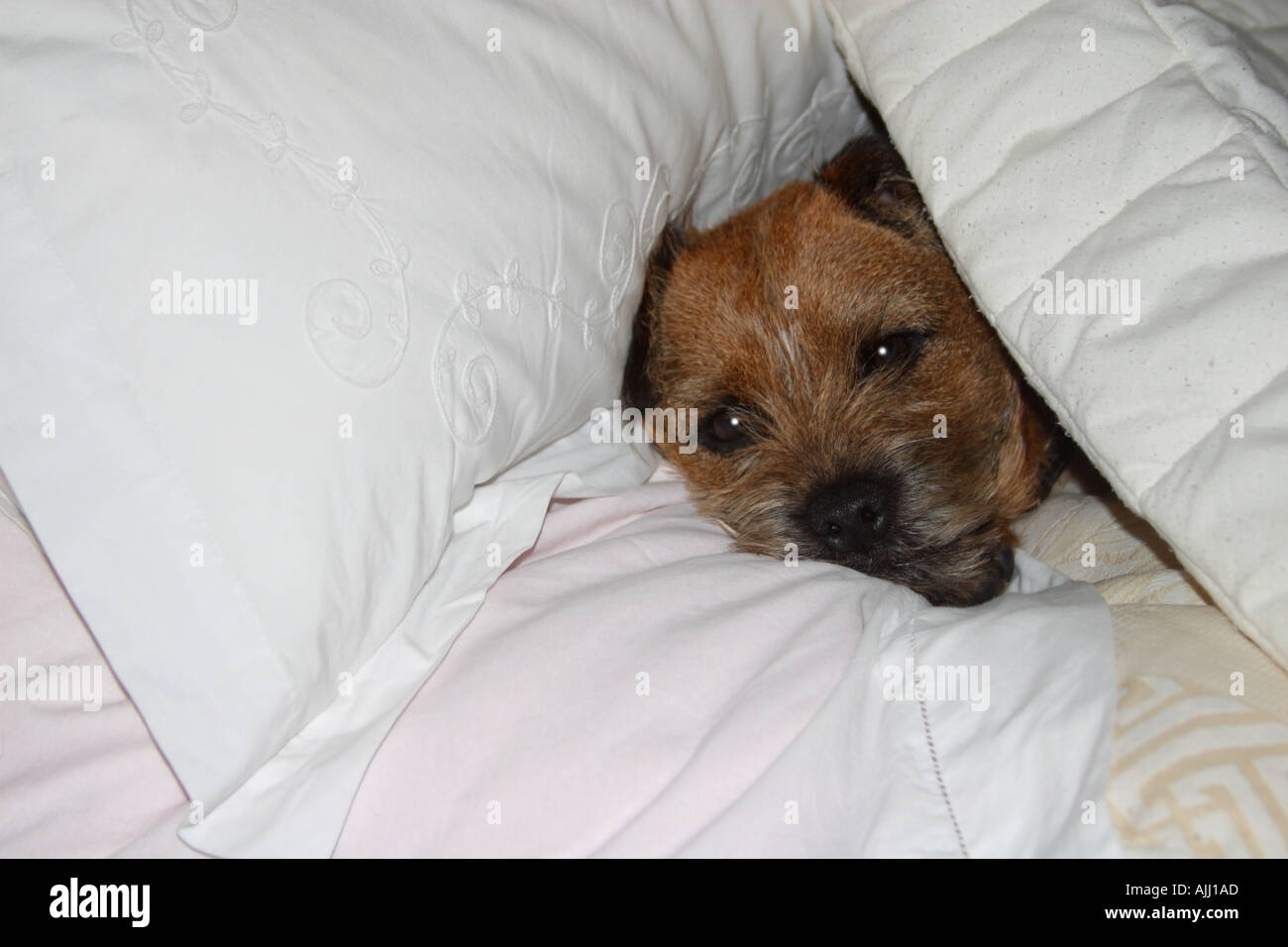 Border Terrier Dog enjoying a comfortable sleep in his masters bed - Stock Image