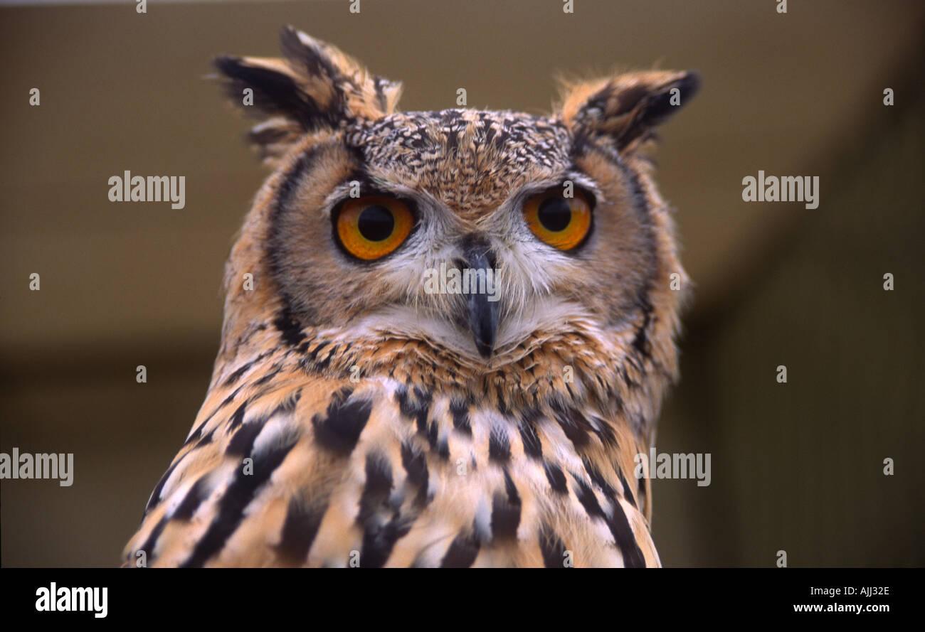European eagle owl head and body - Stock Image