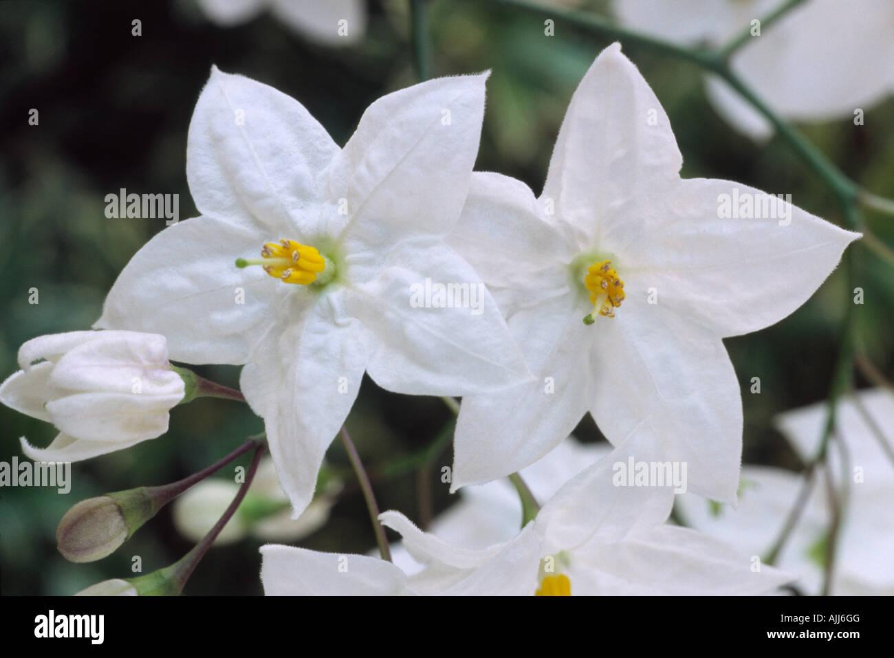 Solanum Laxum Album Agm Potato Vine Close Up Of White Flowers