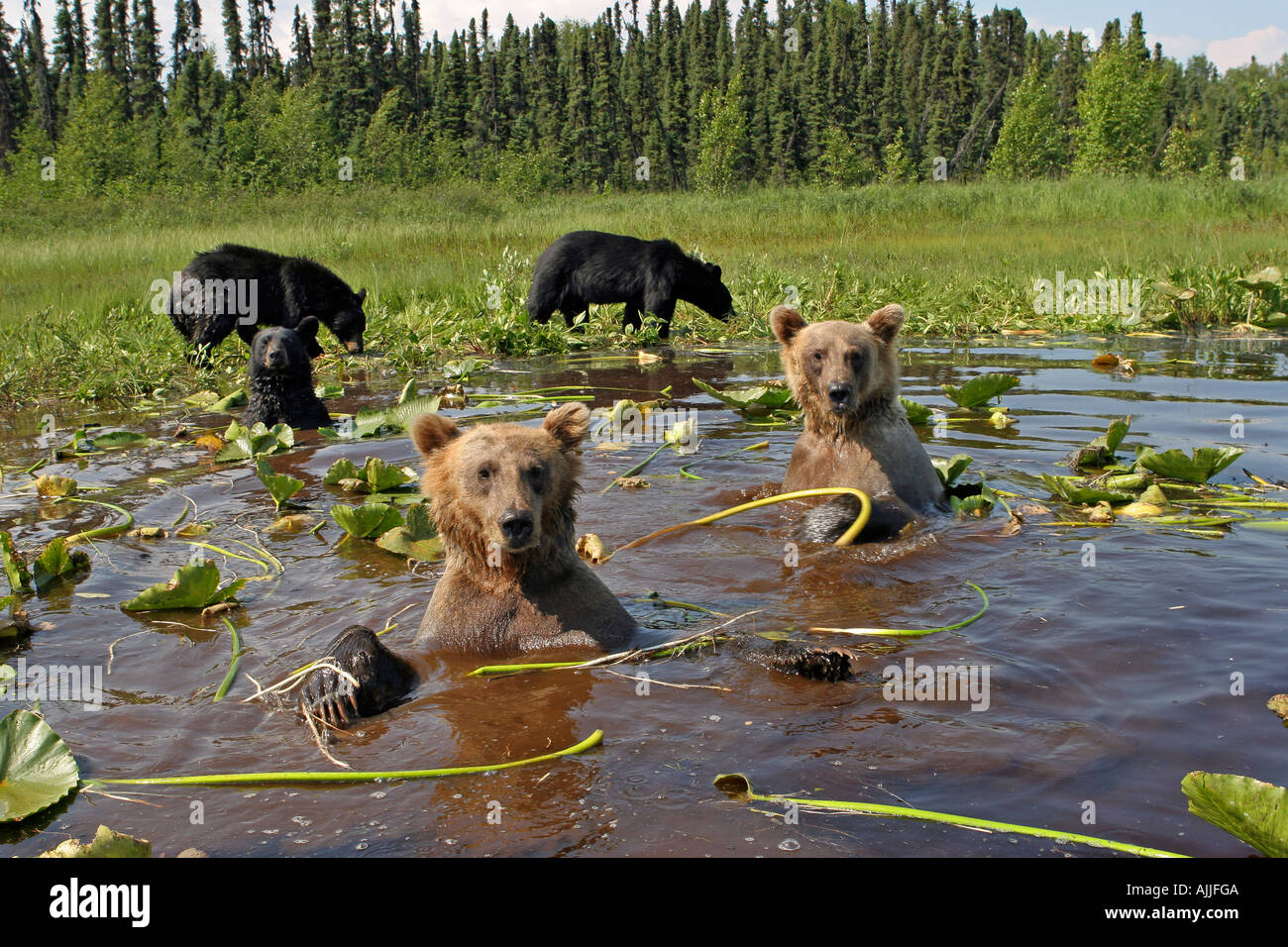 Grizzly Black Bears cooling off together in lily pond Southcentral Alaska MatSu Valley Summer - Stock Image