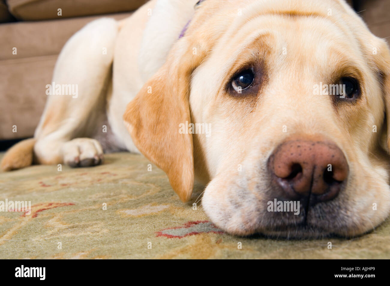Puppy With Sad Eyes Stock Photos Puppy With Sad Eyes Stock Images