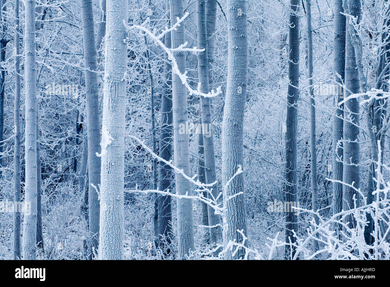 Frost coated birch forest near Knik River Mat Su Valley Southcentral Alaska Winter - Stock Image