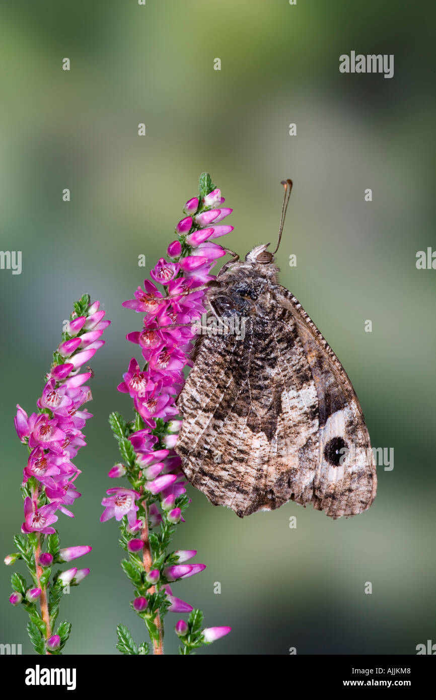 Grayling Hipparchia semele on Heather showing markings and detail with nice out of focus background - Stock Image