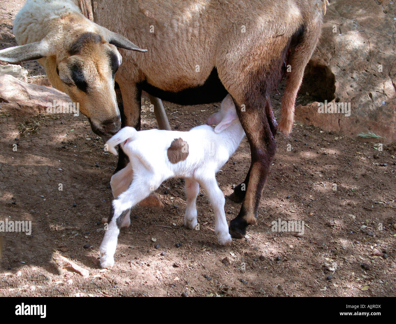 Just born, lamb near his mother - Stock Image