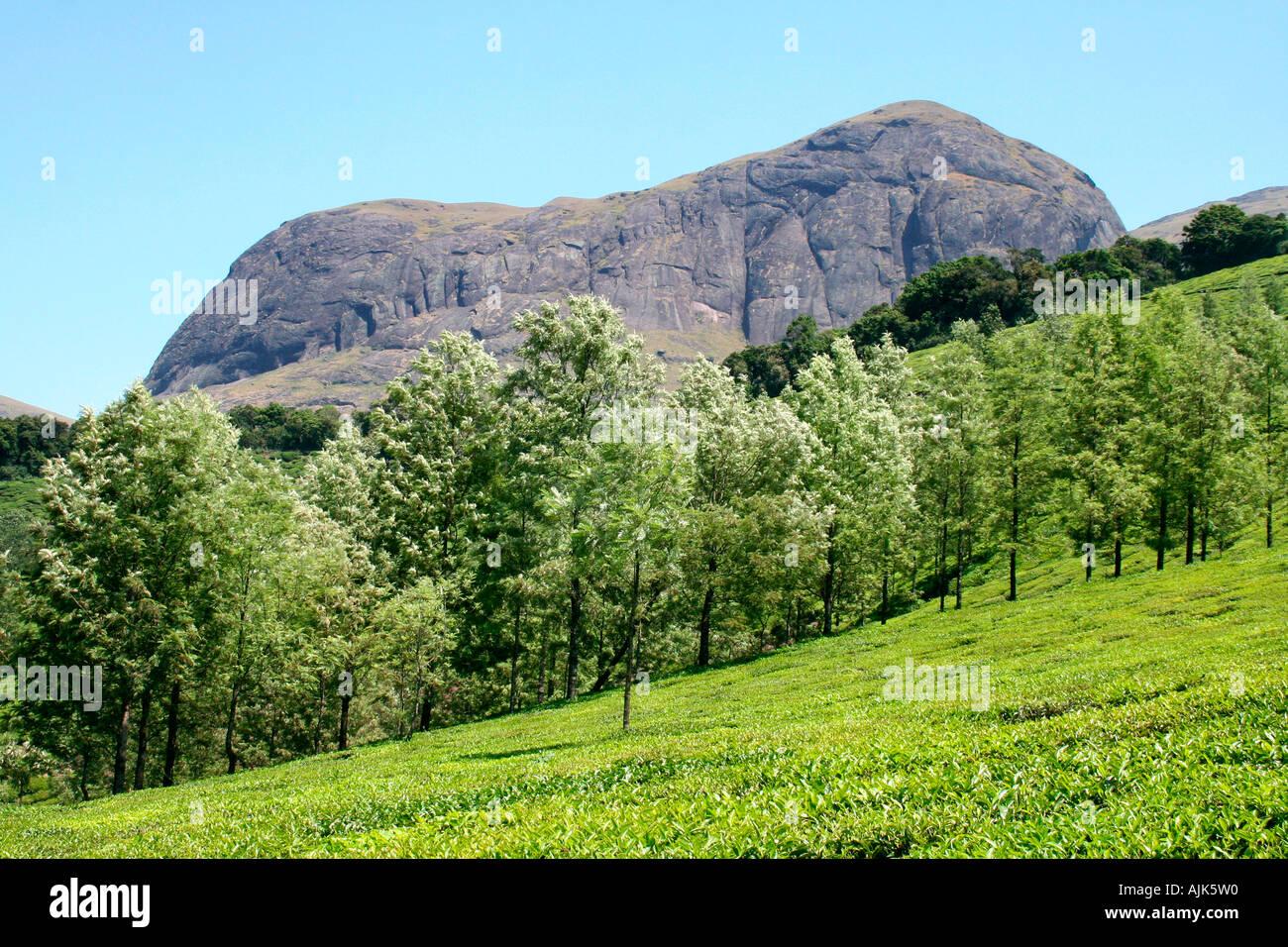 The famous Munnar tea estate of the Nilgiri hills, Kerala - Stock Image