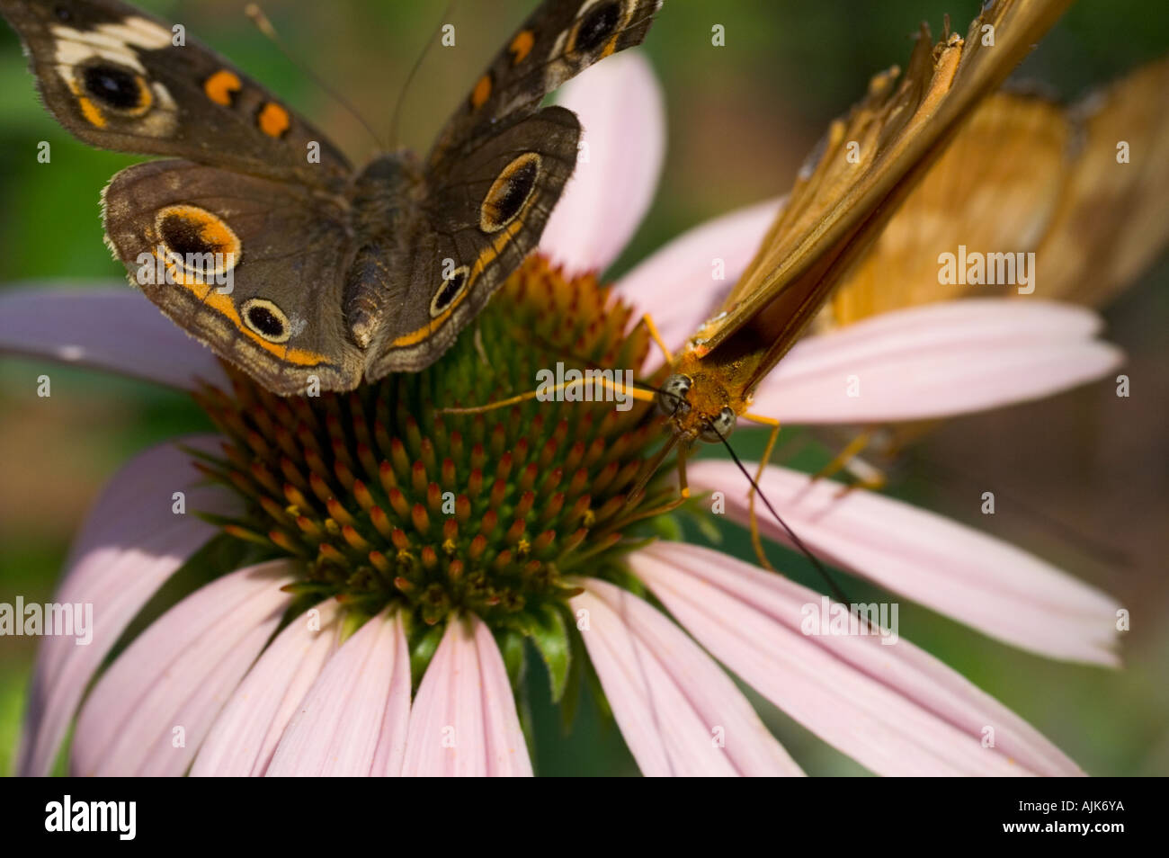 Purple cone-flower with butterfly. - Stock Image