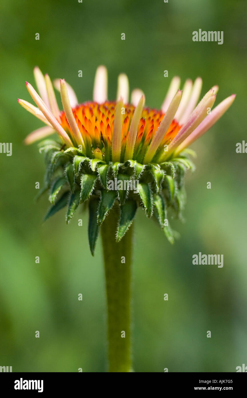 Close-up of Purple cone-flower (Echinacea purpurea). - Stock Image
