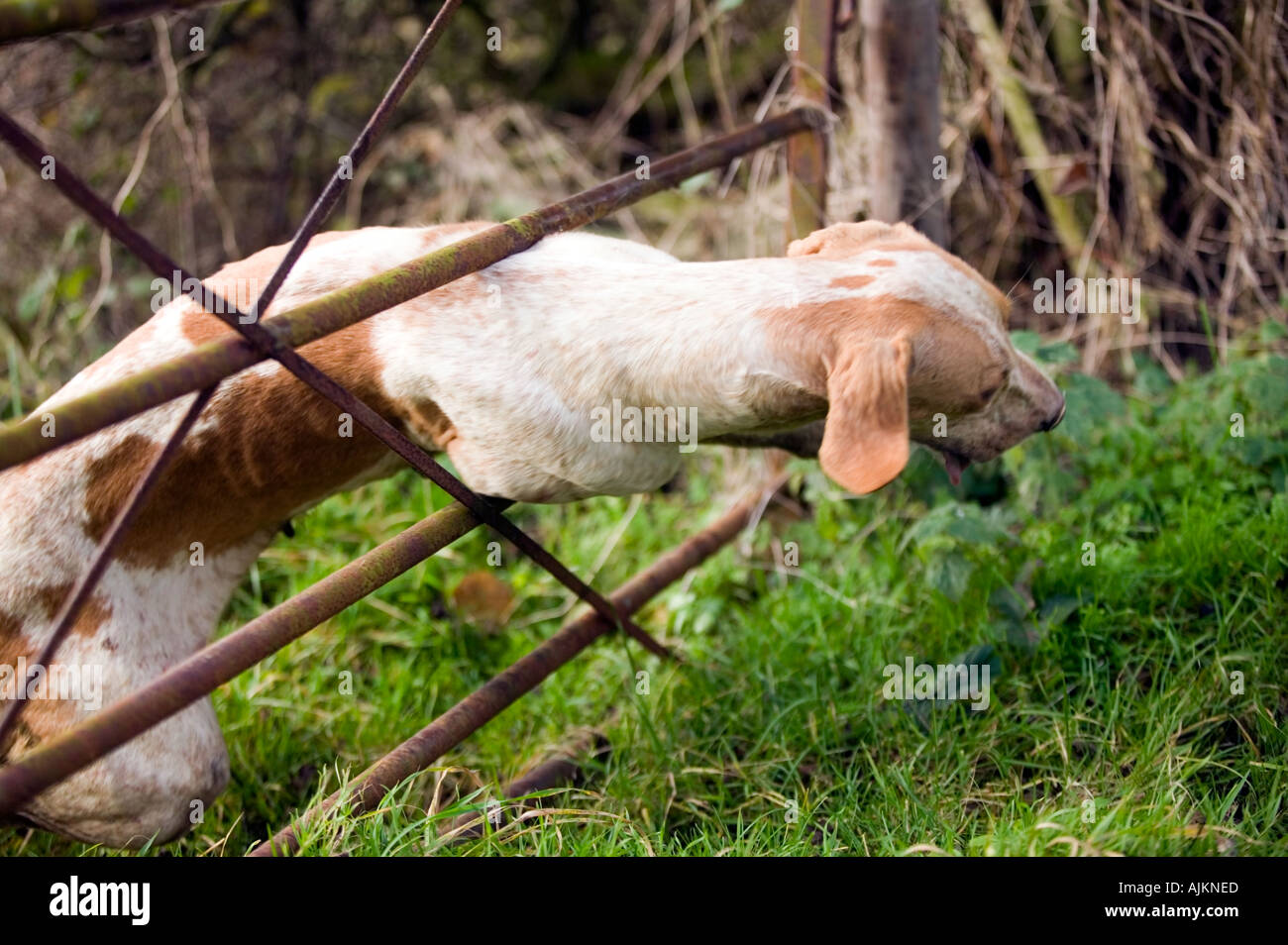 Fox hound jumping through five bar gate - Stock Image