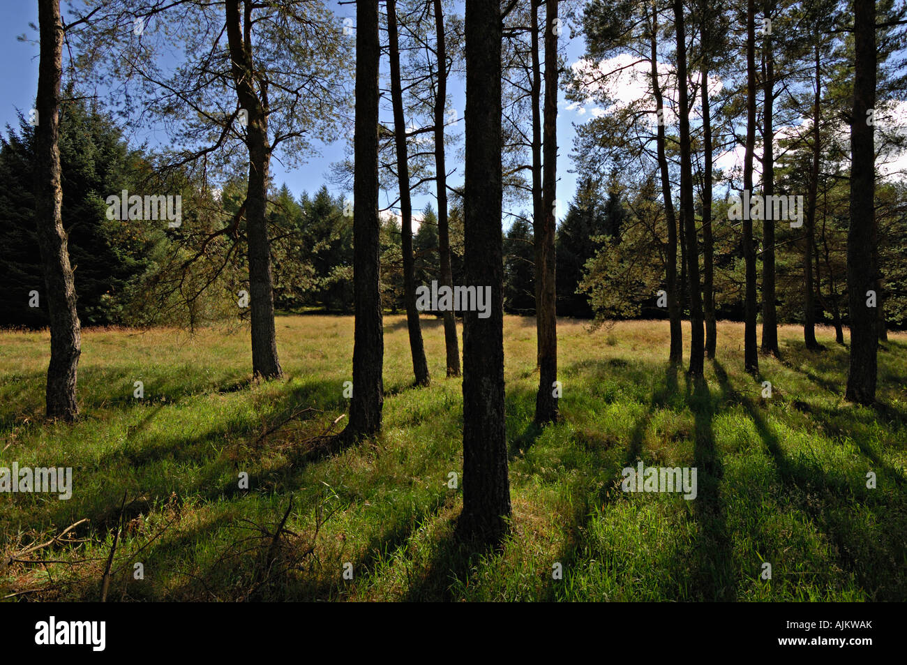 Pine & spruce are outlined against a meadow and blue sky in conifer woodlands near Auchterarder central Perthshire - Stock Image