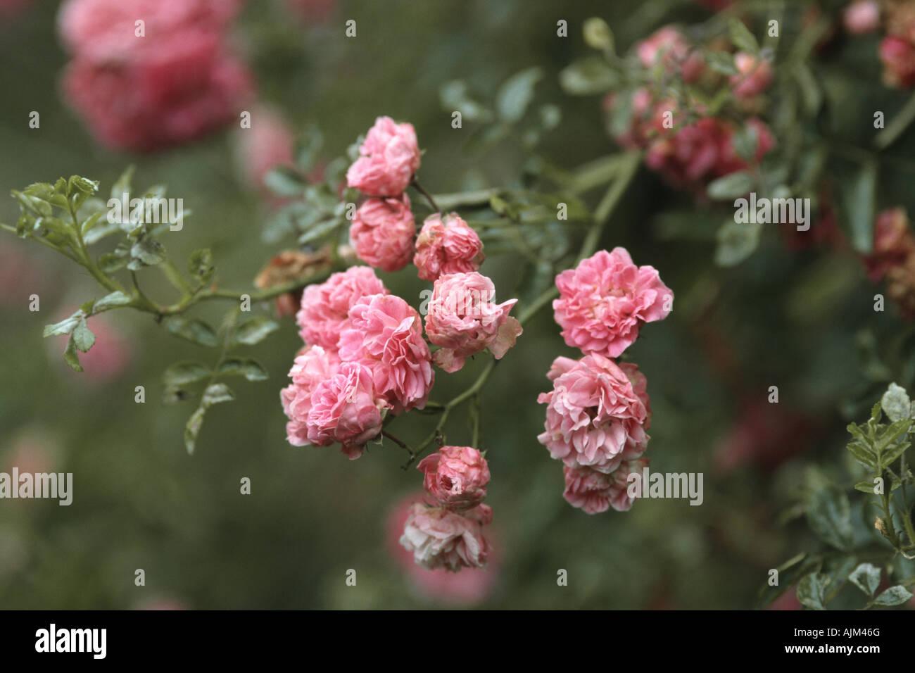 ornamental rose (Rosa 'Dorothy Perkins', Rosa Dorothy Perkins), blooming Stock Photo