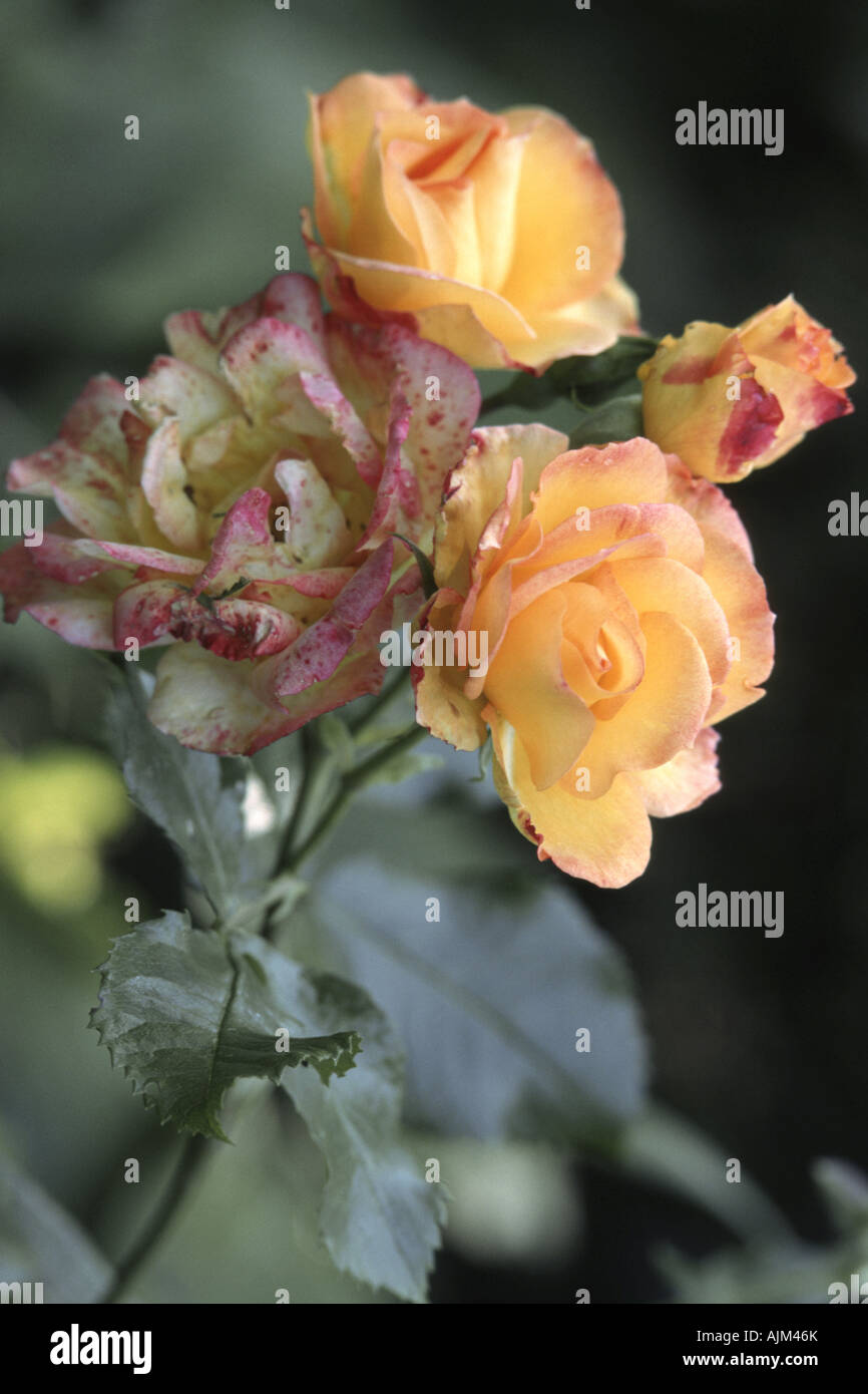 ornamental rose (Rosa 'Bonanza', Rosa Bonanza), flowers Stock Photo