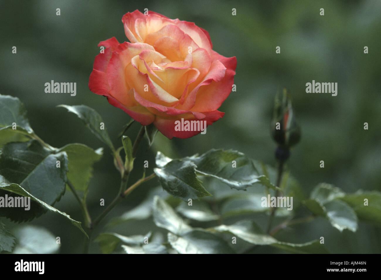 ornamental rose (Rosa 'Bonanza', Rosa Bonanza), flowers Stock Photo