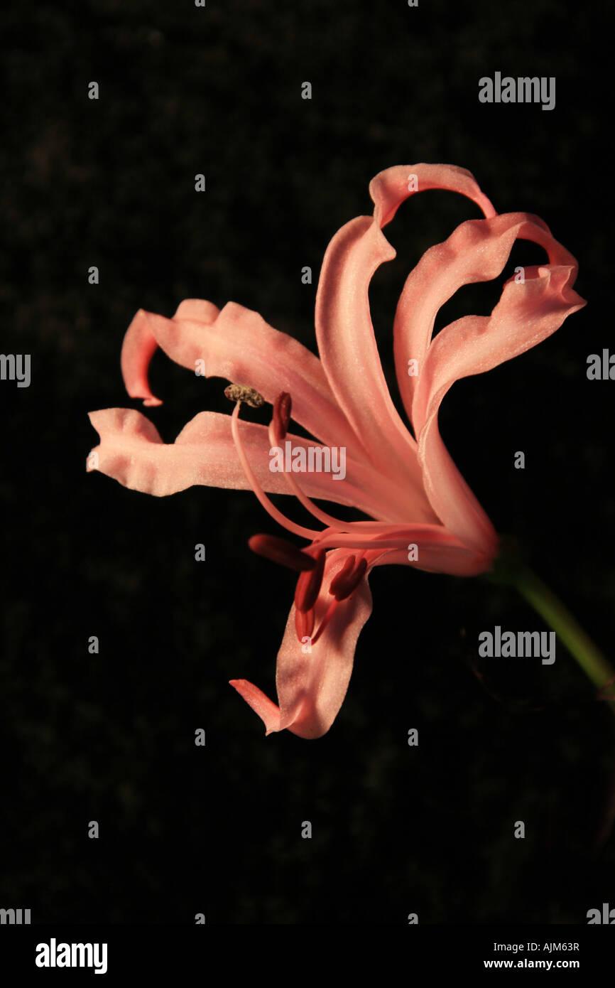 Nerine Flower On a Black Background - Stock Image