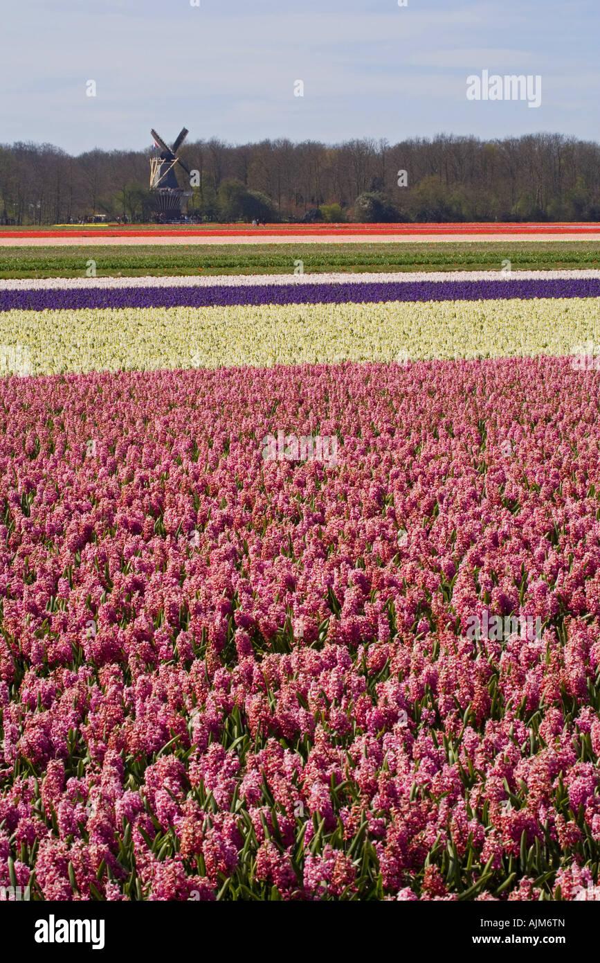 Jacinthe (Hyacinthus orientalis), Field of hyacinths and windmill in Keukenhof Garden, Netherlands, Lisse Stock Photo
