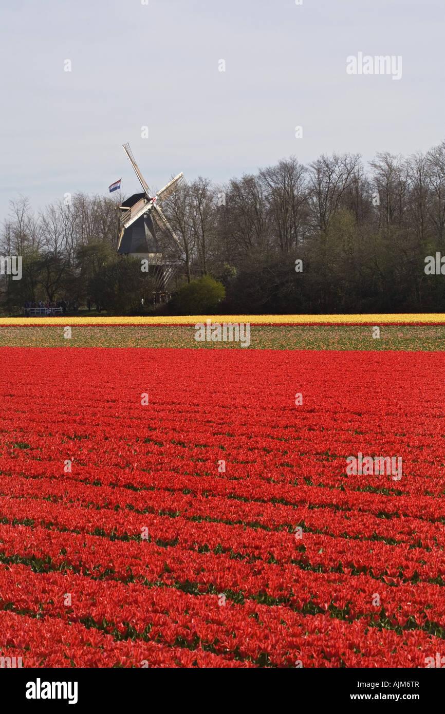 common garden tulip (Tulipa gesneriana), tulips fields and windmill at Keukenhof, Netherlands, Lisse Stock Photo