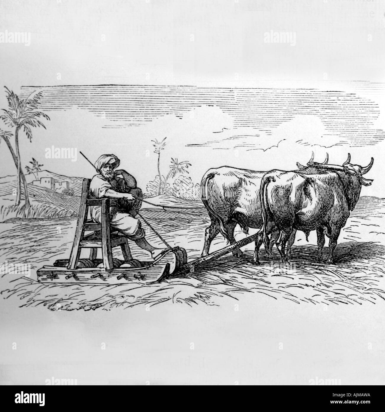 Oxen Treading Out Corn Woodcut - Stock Image
