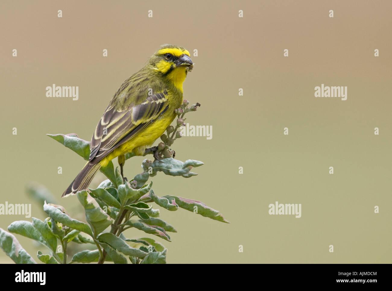 Yellow Fronted Canary Portrait Masai Mara Kenya Stock Photo Alamy