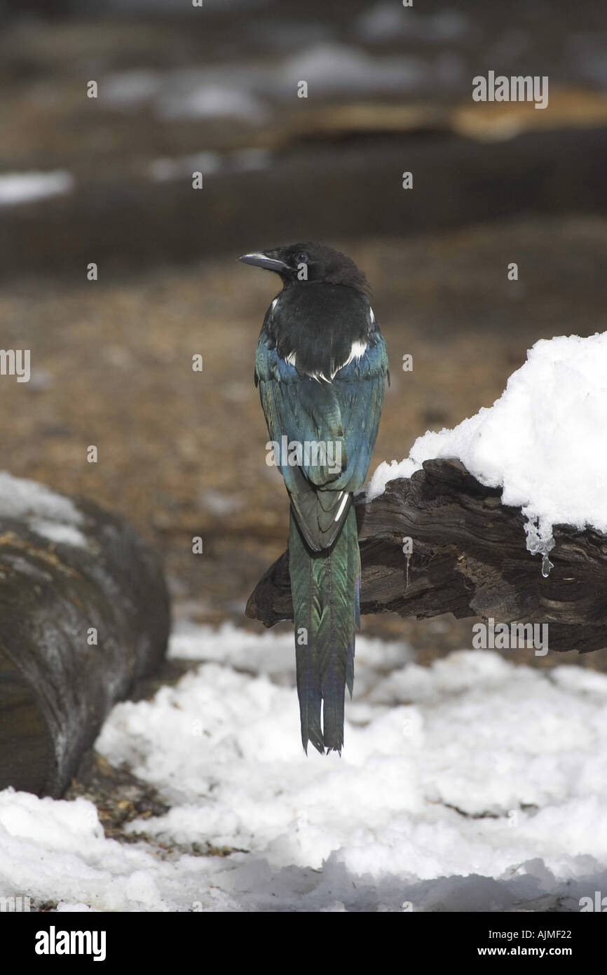 American Magpie Black billed Magpie Pica hudsonia with snow Rocky Mountain National Park USA - Stock Image