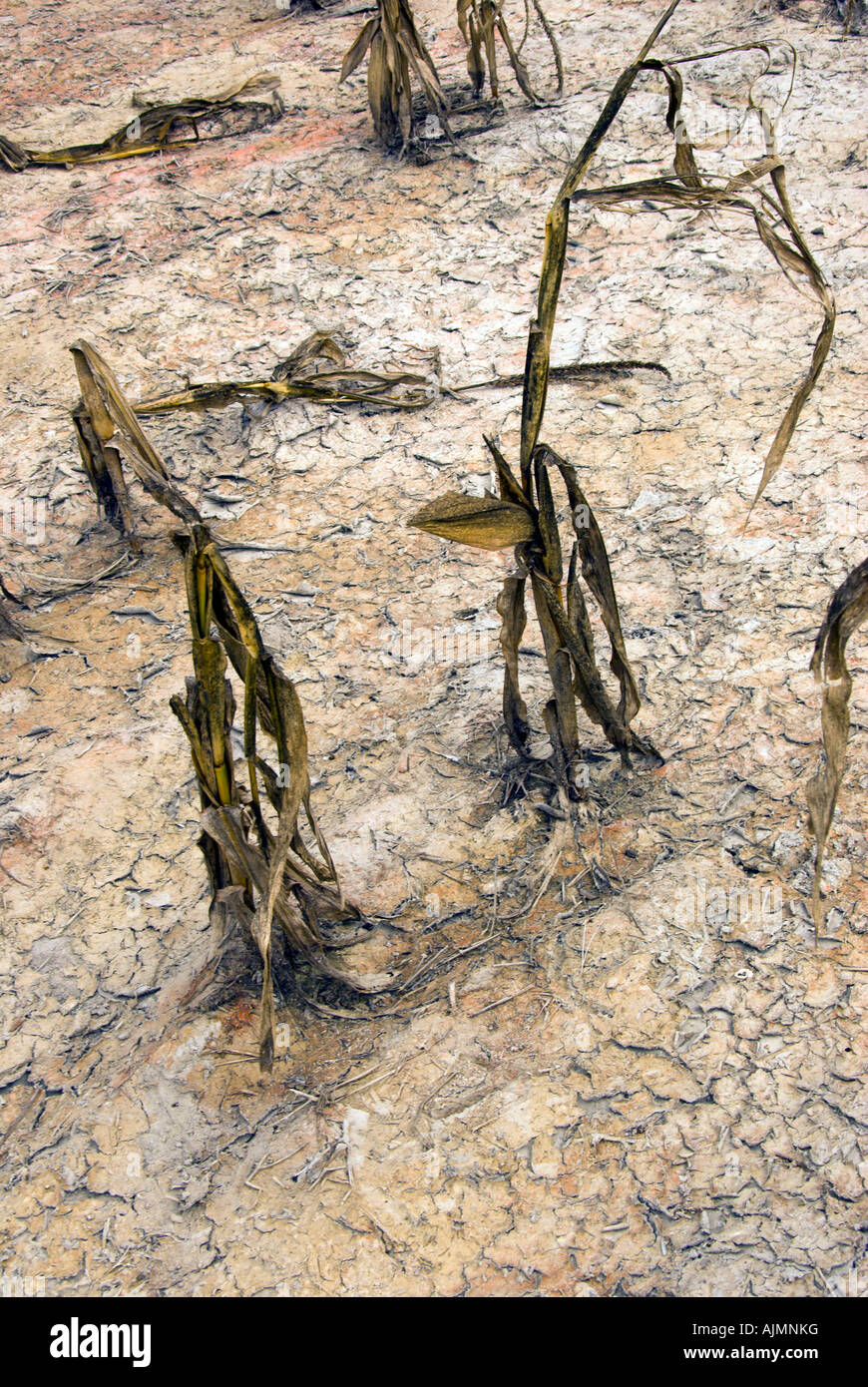 weather, dry, drought, impact, withered corn field stalks, cracked parched earth, ground,   global warming effects, - Stock Image
