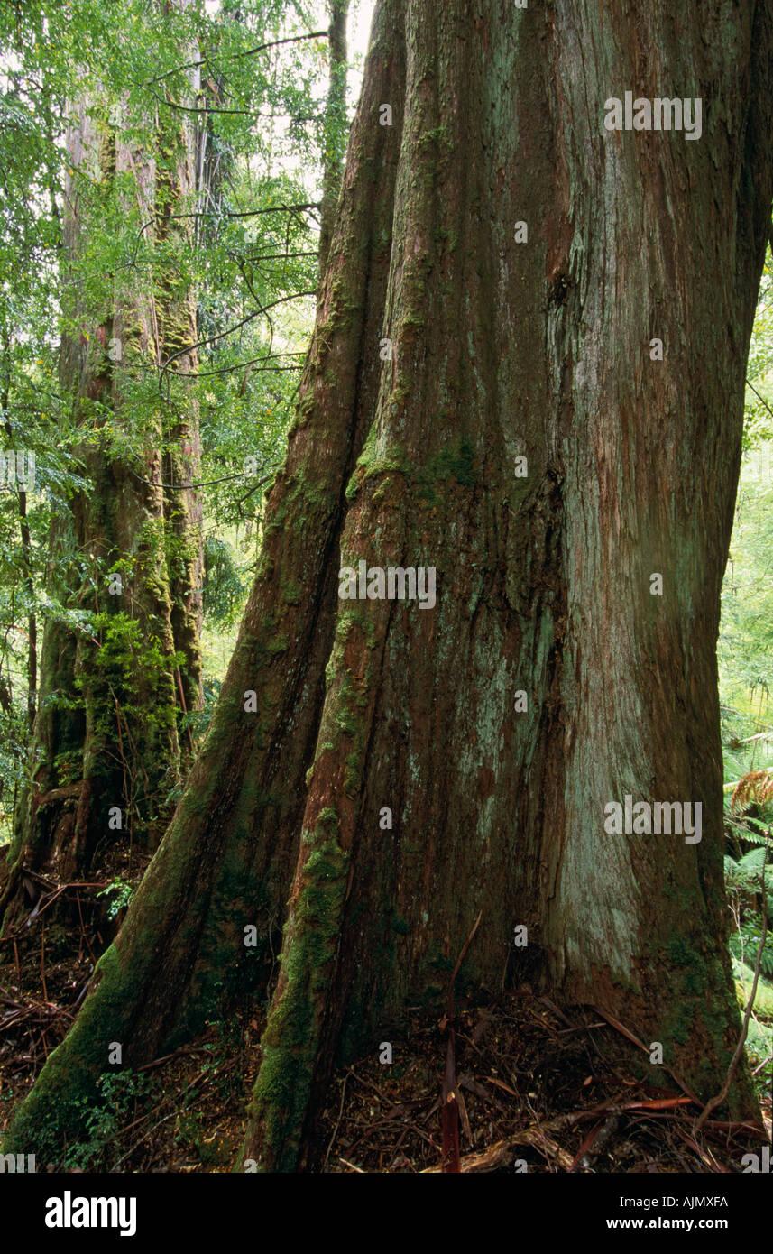 400 year old Eucalyptus regnans, Styx Valley, Tasmania, Australia, - Stock Image