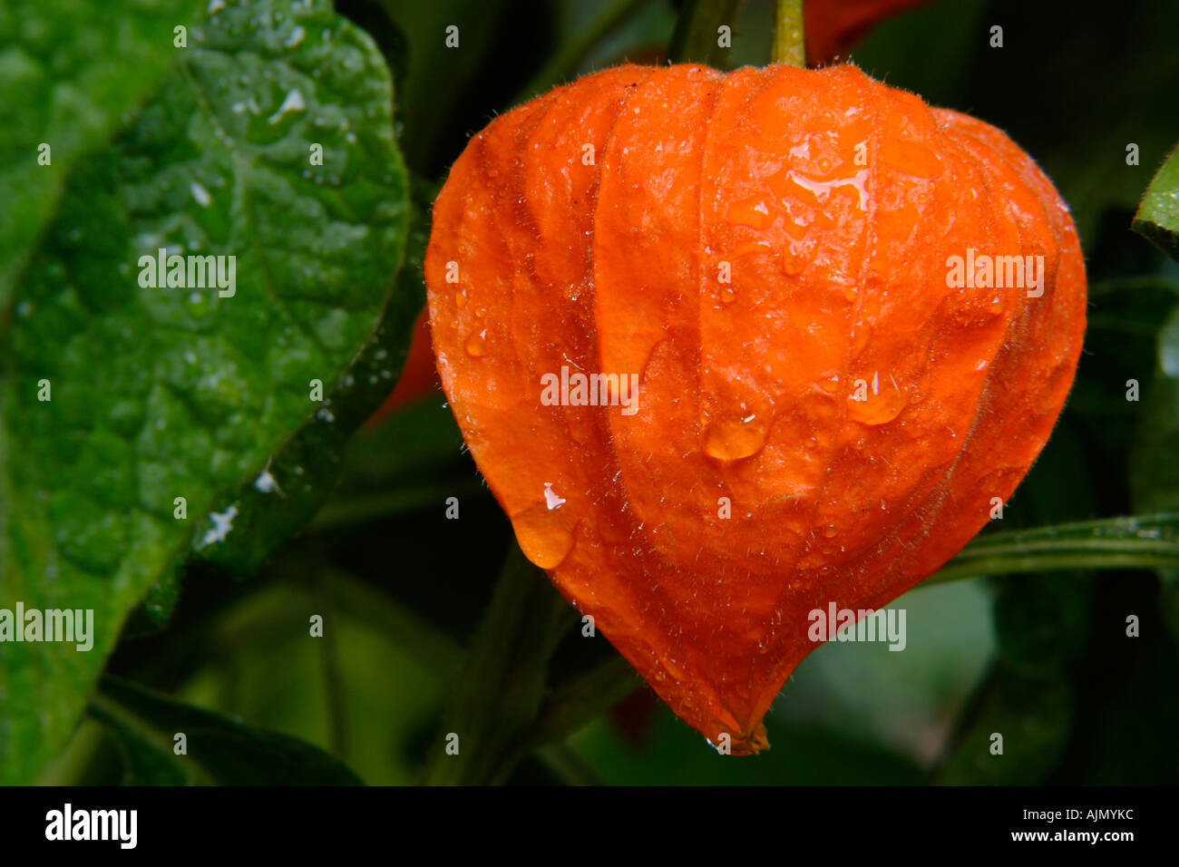 Detail of physalis alkekengi chinese lantern on vine with dew and green leaves - Stock Image