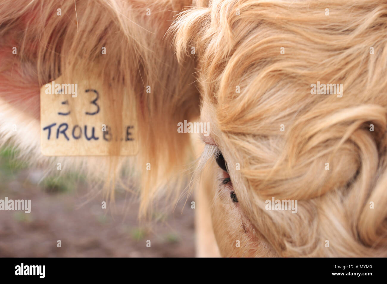 Closeup of a bull named Trouble. Stock Photo