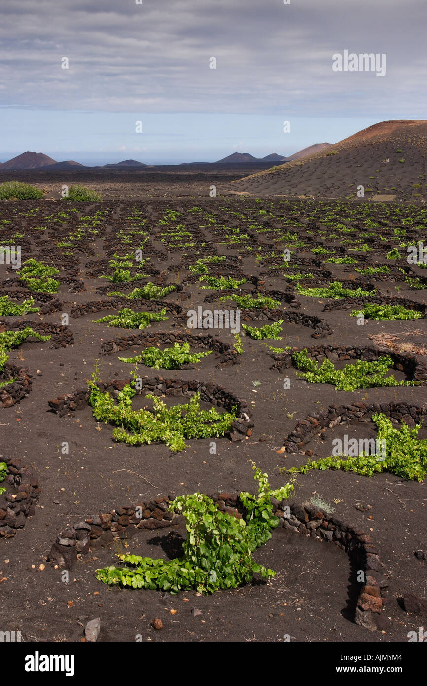 Grape vines grow in black volcanic sand on Lanzarote, one of the Spanish-ruled Canary Islands in the Atlantic Ocean. Stock Photo