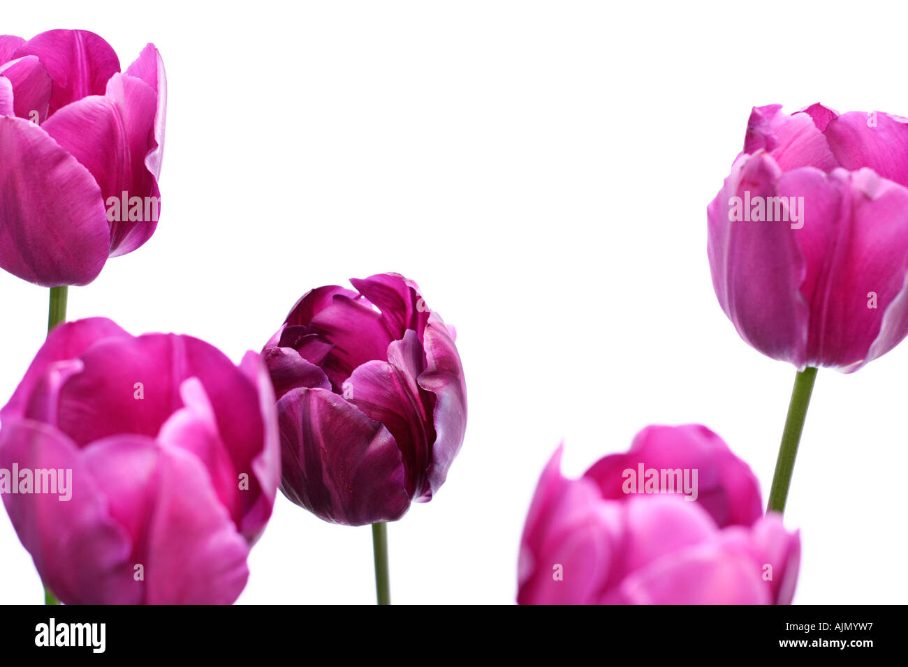 Side view of purple tulips, latin name tulipa, against a white background. Focus is on the centre tulip. Stock Photo