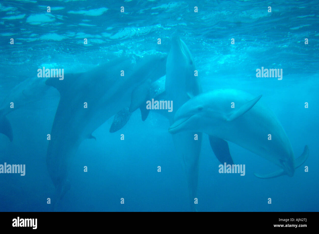 dolphins swimming in tourquoise coloured water at seaworld orlando florida usa - Stock Image