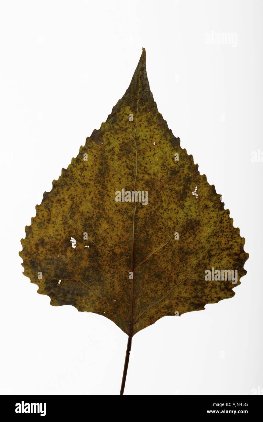 Diseased leaf on white background - Stock Image