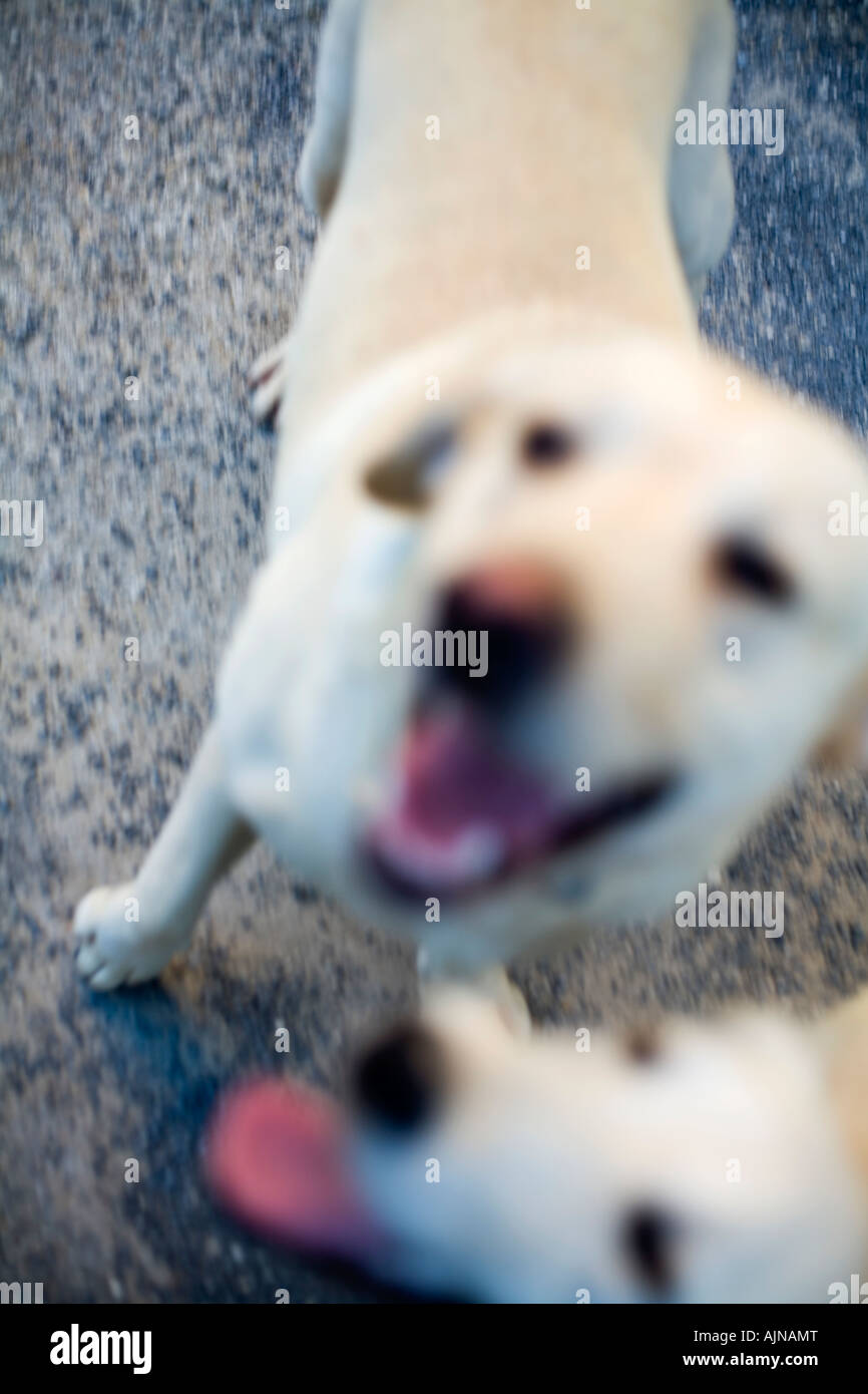 out-of-focus-blond-yellow-labradors-pant