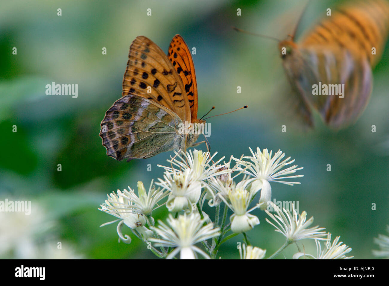 Silver-washed Fritillary, Argynnis paphia, butterfly feeding on Travellers'-joy blossom, Clematis vitalba - Stock Image