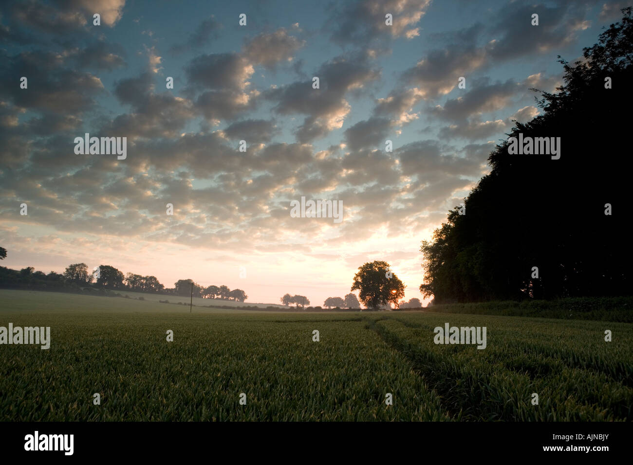 Looking across a wheatfield at sunrise - Stock Image