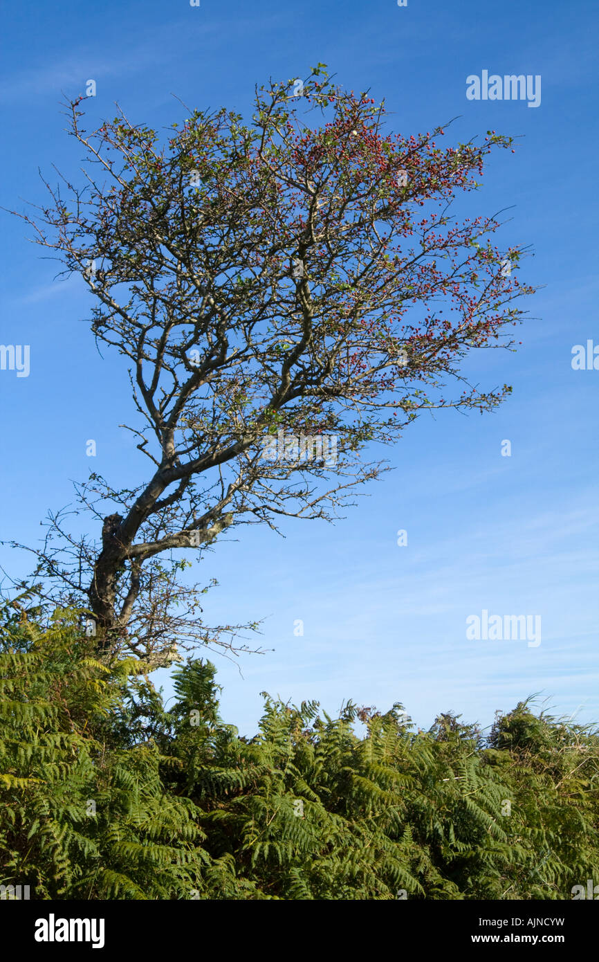 A distorted hawthorn tree bent by the wind, Cornwall - Stock Image