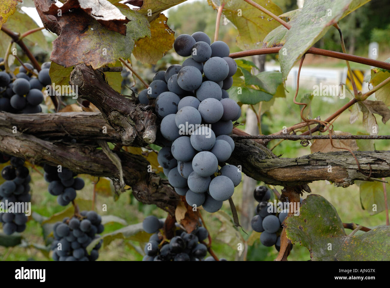 Ripe Concord Grape cluster on the vine Stock Photo